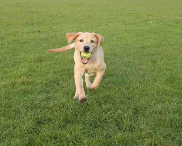 uwielbiam biegac :) #labrador #labradory