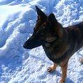 Nudno Zimno... Kogo by tu ogryźc? #melcia #melka #zima #pies #dog #suka #suczka #młody #szczeniak #mróz #snieg #zaspy #szalenstwo #szaleństwo #uszy #nos #piesek #gryzon #luty #piesio #owczarek #niemiecki #ogon #łapy #zabawa