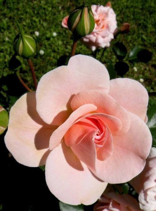 #róża