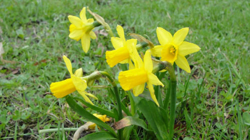 Południowy Śląsk, Wiosna w pełni :) #raciborz #Racibórz #slaskie #Śląskie #wiosna #zielono #żonkile