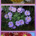trochę jesieni w moim ogrodzie...nadal ogrom kwiatów! #jesień #collage #rośliny