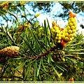 trzy w jednym:stare,młode i to co jeszcze ma być,malowane #malowane #przeróbki #inaczej #sosna #szyszki #drzewo