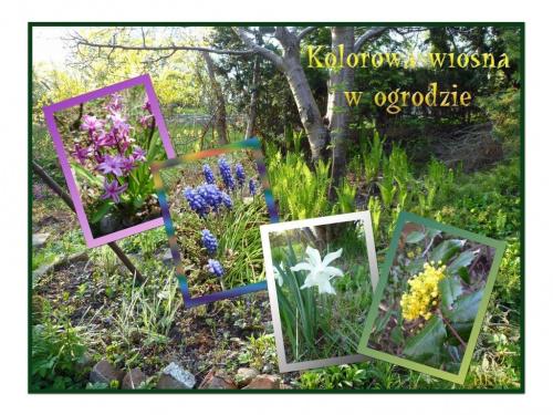W moim ogrodzie wiosna w pełni #wiosna #ogród #collage #kwiaty #kolory