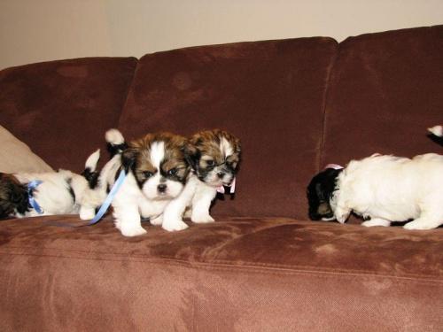 ciężko wszystkie ogarnąć, Shih Tzu #psy #zwierzęta #szczeniaczki #ShihTzu