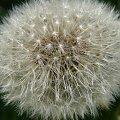 dmuchawiec #kwiat #mlecz #wiosna
